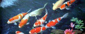 Cara Merawat Ikan Koi Di Kolam Terbuka Supaya Cepat Besar