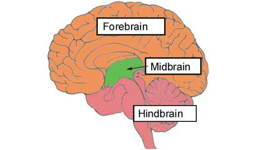 Otak Tengah Adalah | Artikel Otak Manuisa - Pembahasan Ilmiah