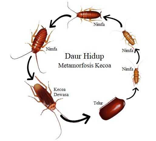 Daur Hidup Kecoa – Metamorfosis Tidak Sempurna